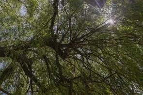 Schattiger Baum in Niederdollendorf