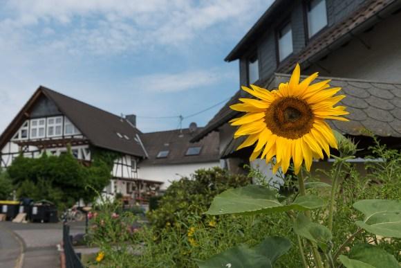 Sonnenblume in Oeleroth