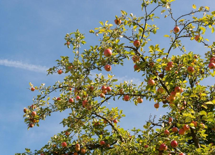 Apfelbaum in Bruch