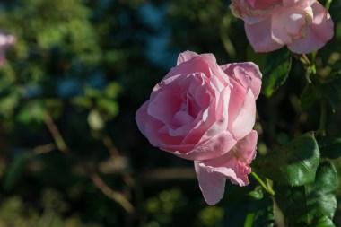 Rose im Vorgarten von Münchrath