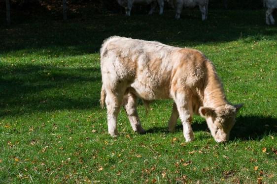 Eine der seltenen Kühe
