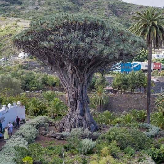 El Drago - Drachenbaum