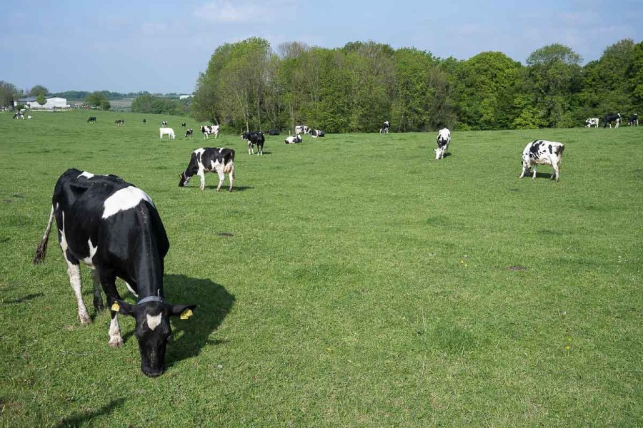 Kühe hinter Kämersheide