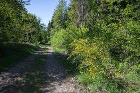 Ginster mitten im Wald