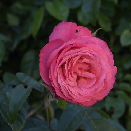 Rose in Lützinghausen