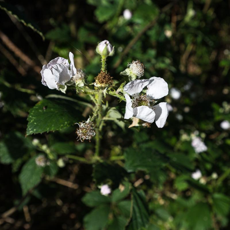 Letzte Brombeerblüten