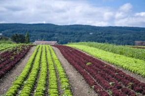 Salat wächst hier reichlich