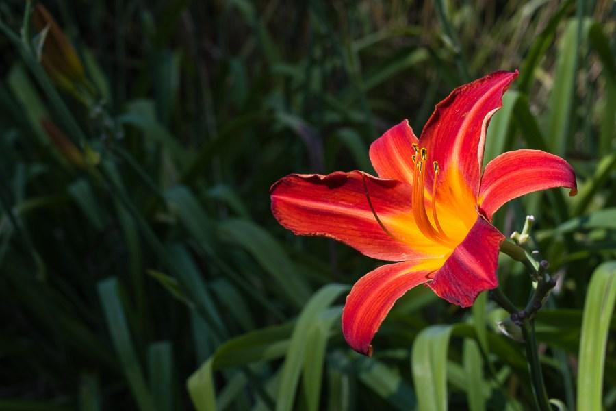 Blühende Lilienart