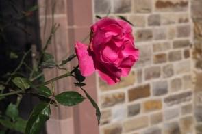 Rose im Klostergarten