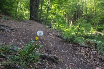 Waldweg mit Pusteblume