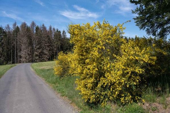 Ende Mai und der Ginster steht überall in voller Blüte