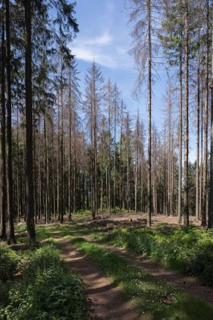 Waldweg mit toten Fichten