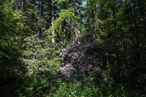 Rhododendron mitten im Wald