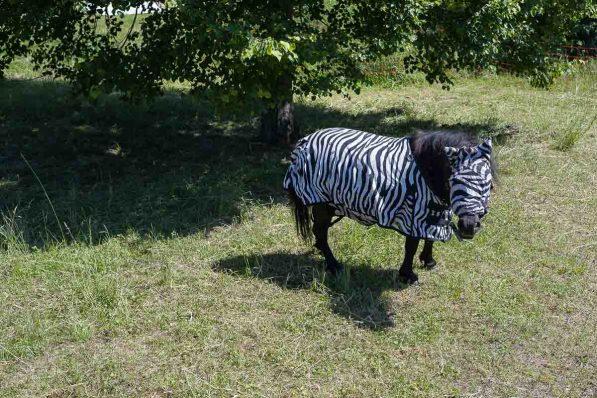 Zebra bei Burg Waldeck