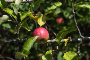 Apfelbaum in Hümmel