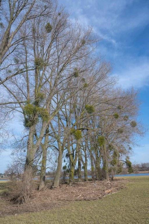 Mistelbäume