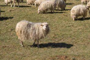 Eines von ganz vielen Schafen