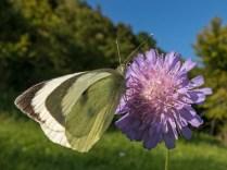 Die Schmetterlinge sind schwer beschäftigt