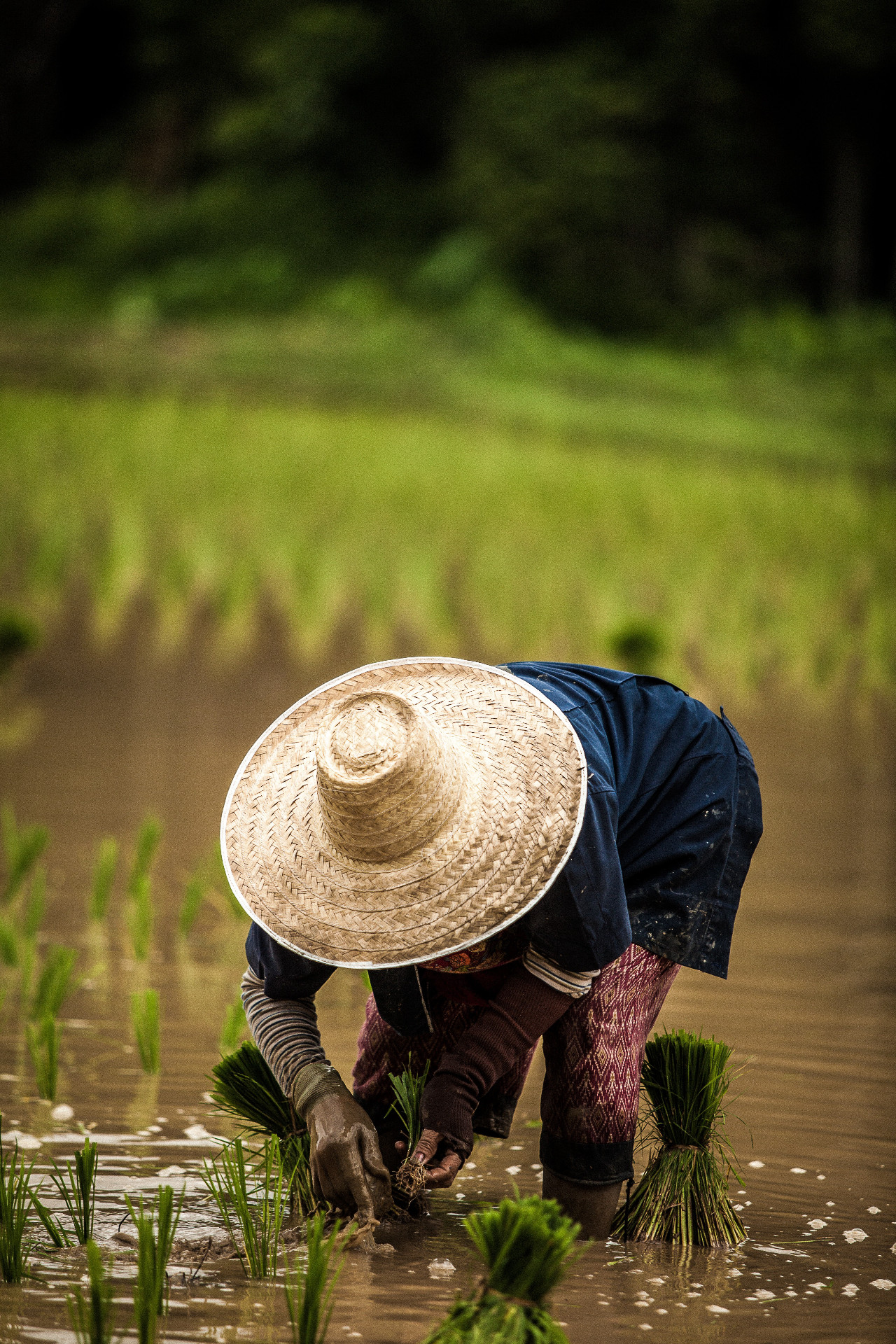Rice Field Work in Chiang Mai, Thailand by Eduardo Prim
