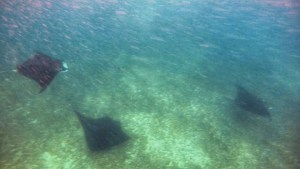 Mantas playing in the current Manta Point Komodo Indonesia