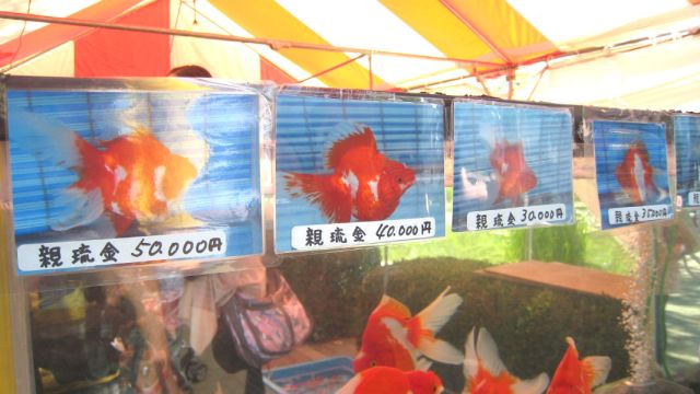 more expensive goldfish