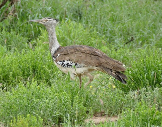 Kori bustard: heaviest flying bird in the world