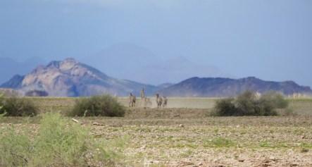 Zebras in the dust