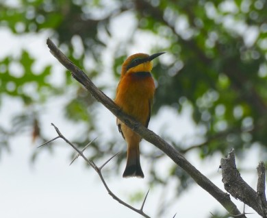 Front... of the Little Bee Eater...awww