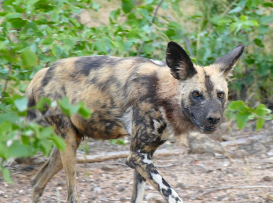 VERY lucky to see Painted Dogs!