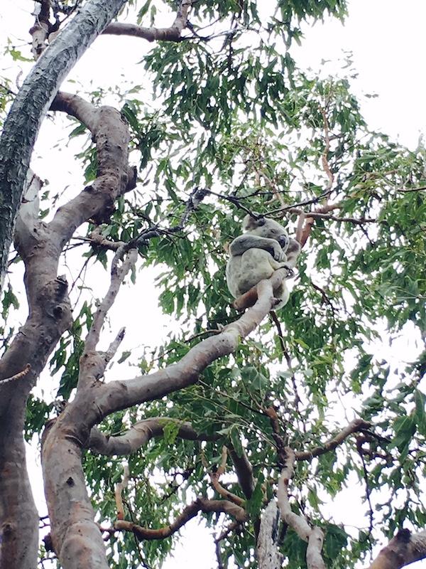 Magnetic Island Koalas
