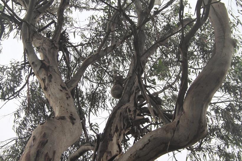 koala victoria australia