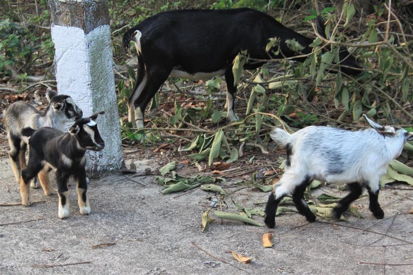 Goats Cat Ba Island
