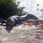 Crocodile at Ambergris Caye