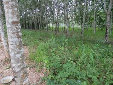 Kautschuk-Plantage.// Rubber plantation.