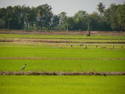 Rice fields.// Reisfelder.
