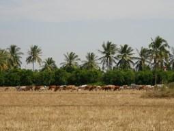 Coconut cows.// Kokosnusskühe.
