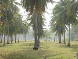 Kokosnussplantage.// Coconut plantation.