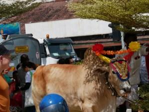 Thaipusam festival: One of the oxen which push the temples through the streets.// Thaipusam Festival: einer der Ochsen, die die Tempel durch die Stadt ziehen.