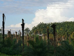 Old and new palm oil plantations.// Alte und neue Palmölplantagen.