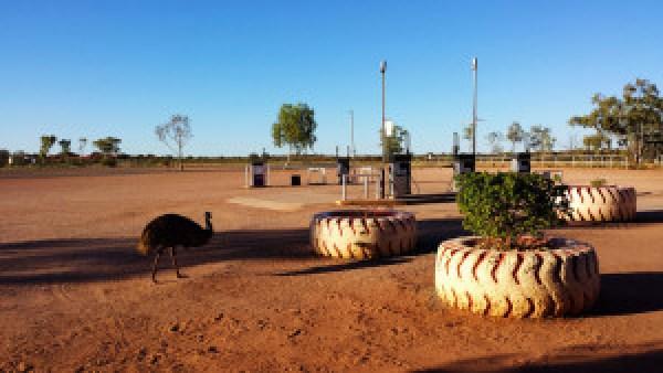 Emoe-bij-cattle-station-Outback