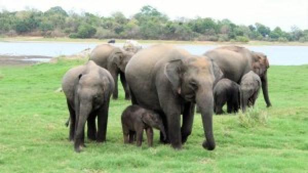 Minneriya National Park Olifanten