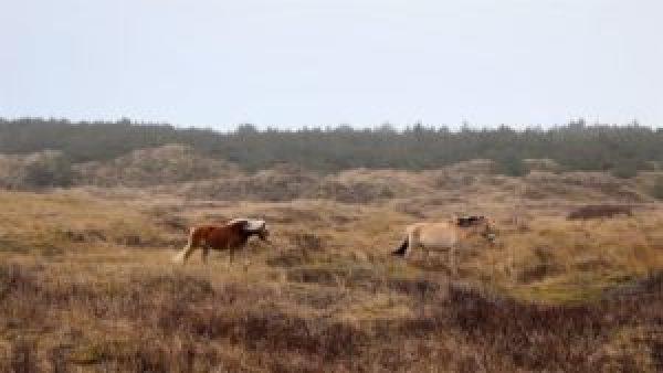 Paarden Vlieland