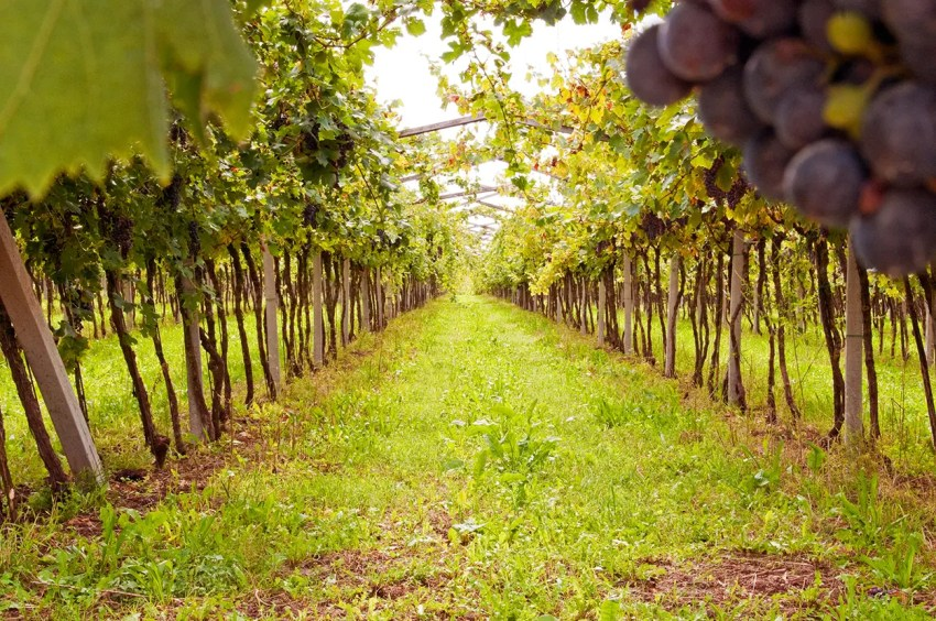 Vineyard, San Pietro in Cariano, Italy
