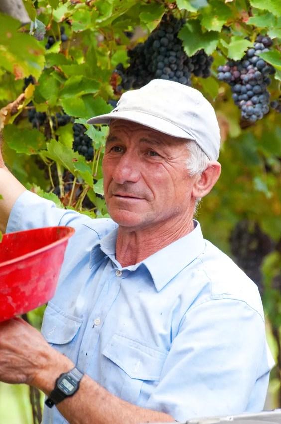 Man harvesting grapes, San Pietro in Cariano, Italy