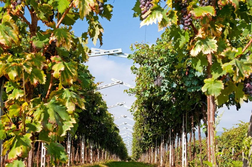 Rows of vines, San Pietro in Cariano, Italy