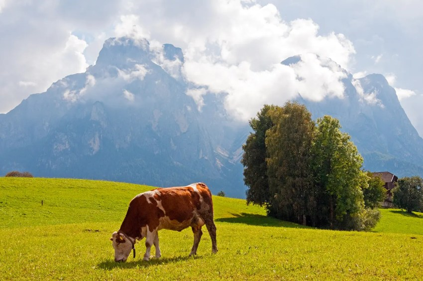 Cow in field with Sciliar/Schlern in background, Italy