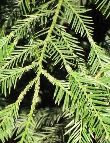 Houseplants Identify Pic Needles