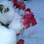 Róże kwitnące w grudniu i przysypane śniegiem w Andrychowie