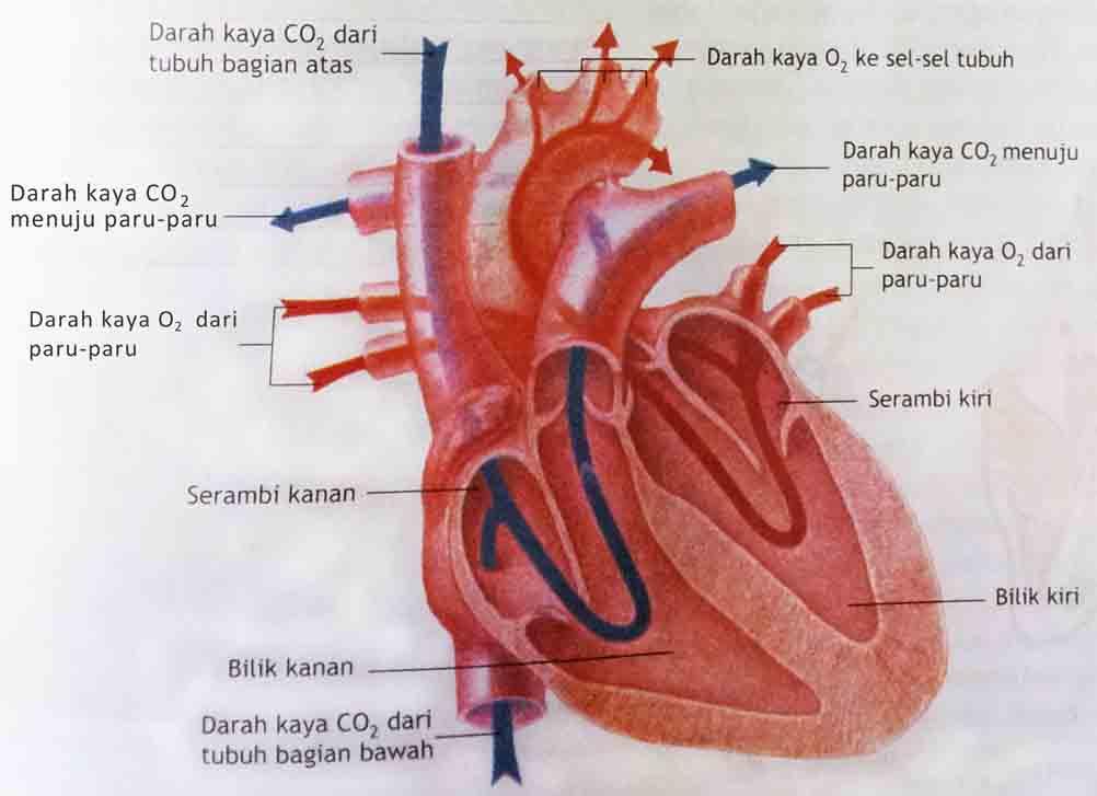 Sistem Peredaran Darah pada Manusia  Sumber Ilmu Online