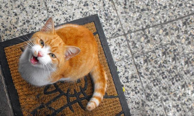 chat miaule sans arrêt